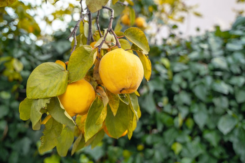 Yellow quinces hanging on a tree branch.