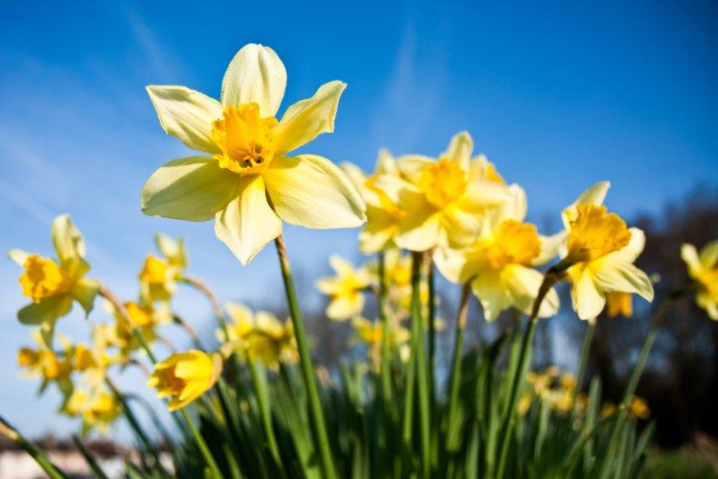Daffodils under a blue sky.