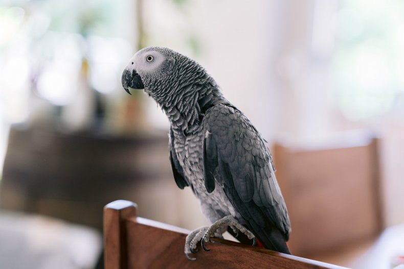 File photo of a grey parrot.