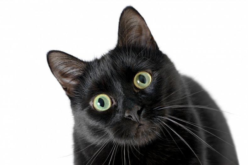 Black cat staring into camera