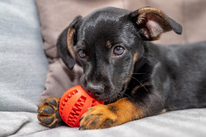 Puppy biting a dog toy.