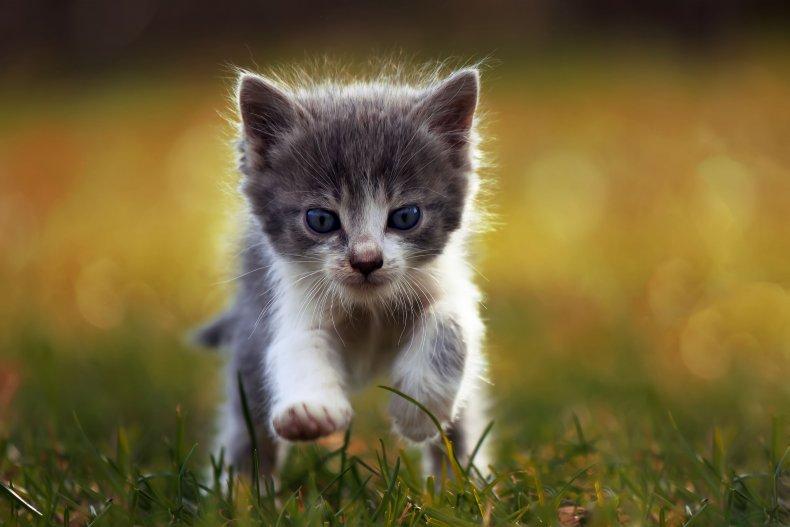 A kitten is running in the field.