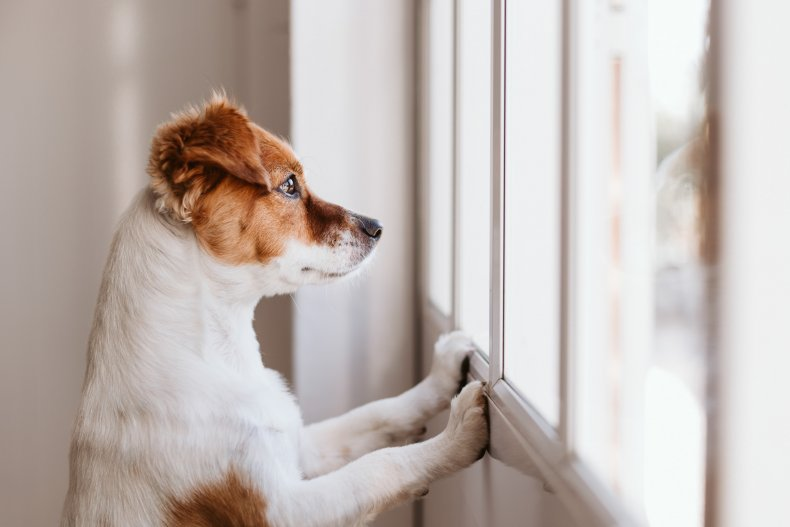 A small dog in front of a window.