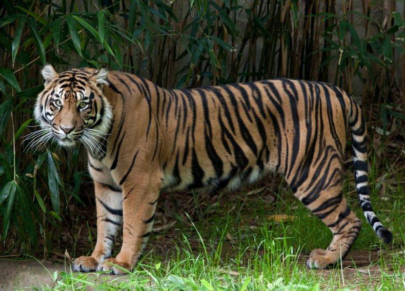 Tiger, National Zoo