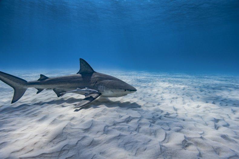 Teen Survives Bite by 500 Pound Shark