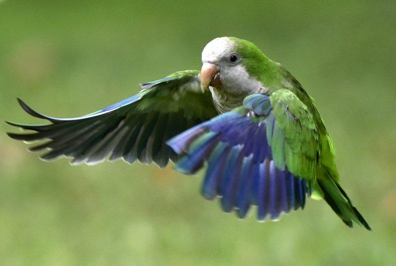A monk parakeet in flight.