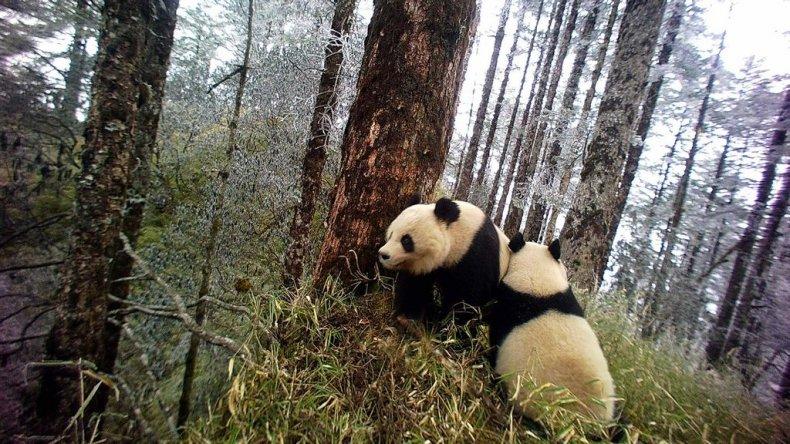Panda Bear, Nature Reserve