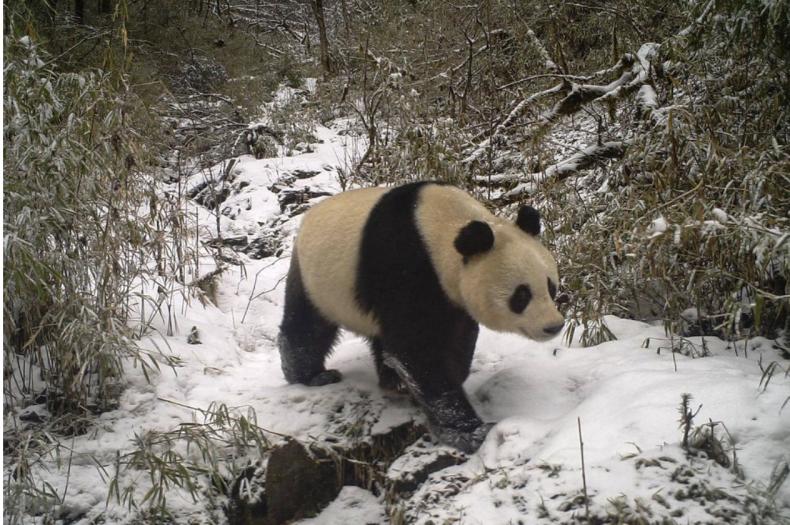 Pandas, mating