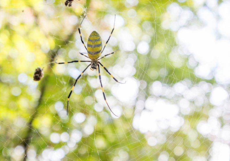 Joro Spider Growing in Numbers in Georgia