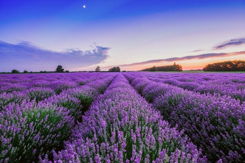 Sunrise over a lavender field.