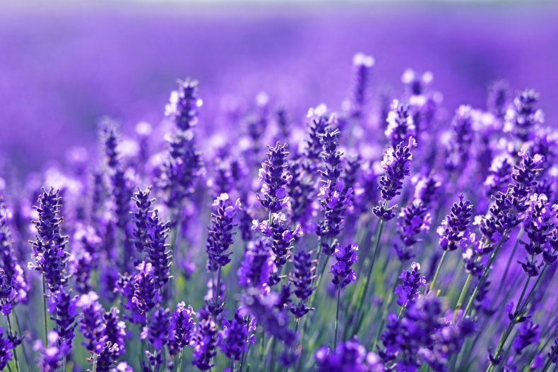 A close-up view of lavender flowers.