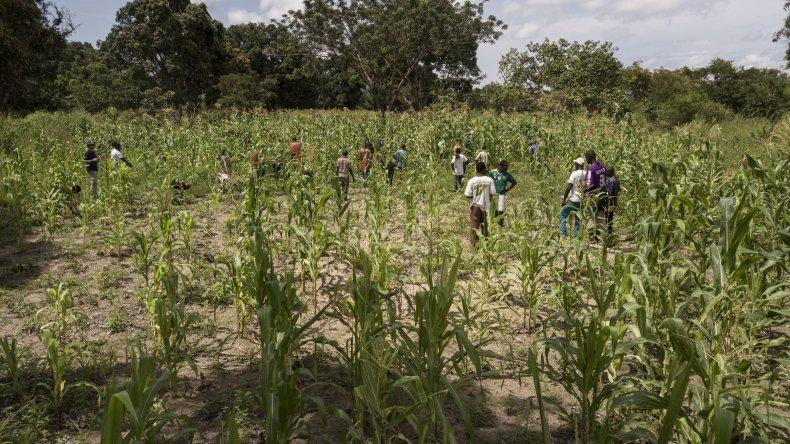 Work in a cornfield in the DRC