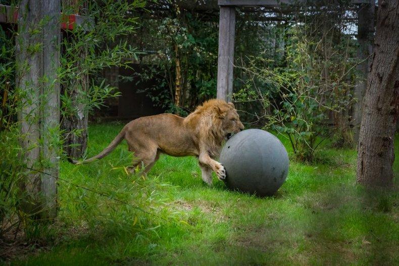 simba leul