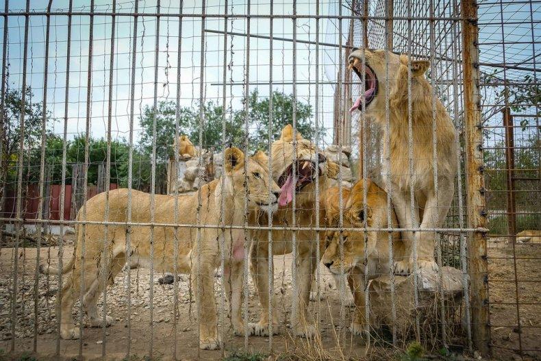 Leul salvează România