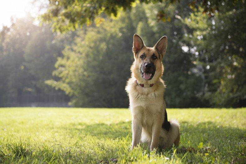 German Shepard dog in field