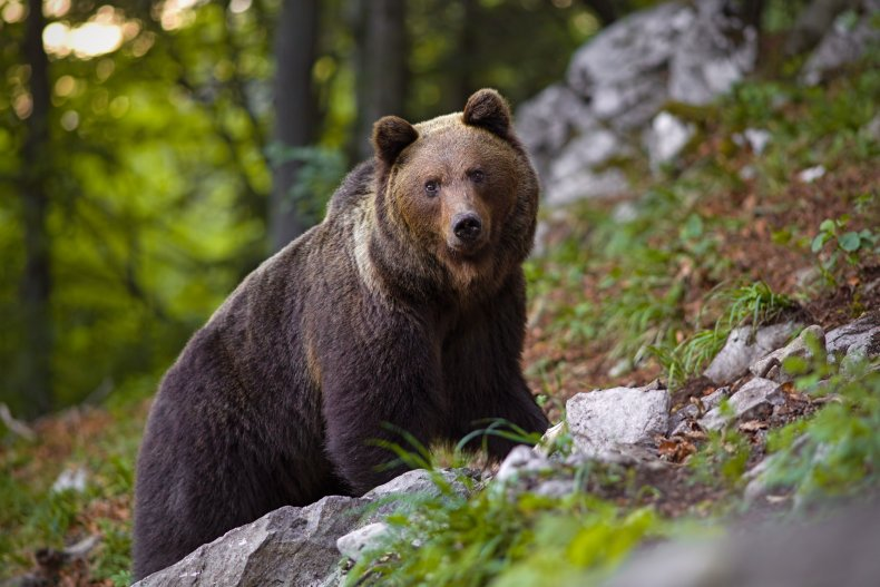 Brown bear attacks