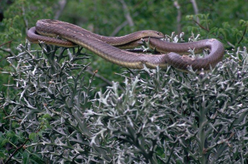 Yogi Snake