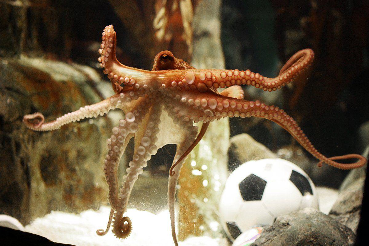 pets-paul-octopus-tease