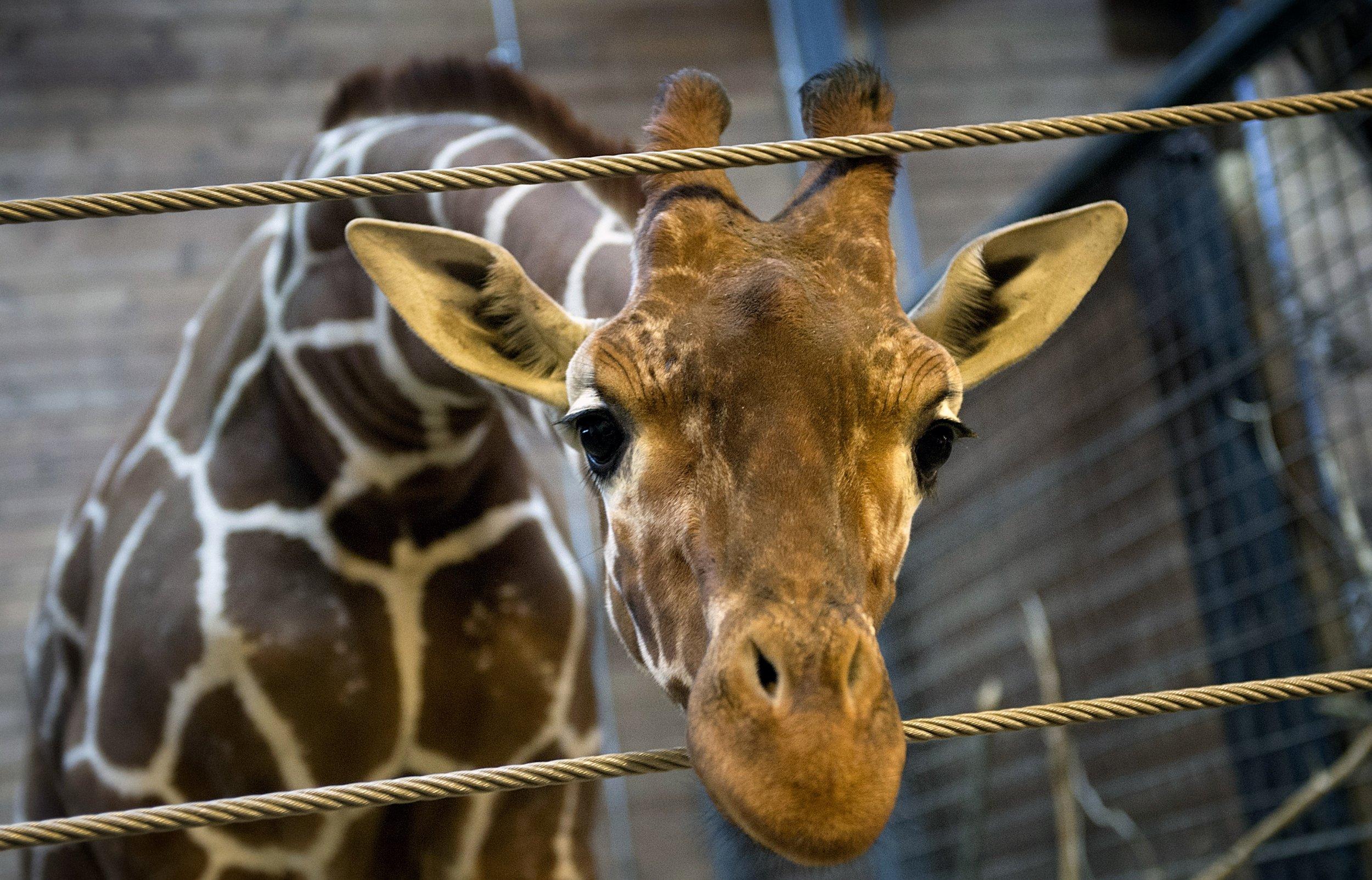 2.10_giraffe_Denmark_02