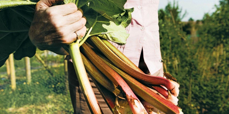 cutruzzula-co0319-rhubarb-main-tease