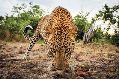 cutruzzula zambia