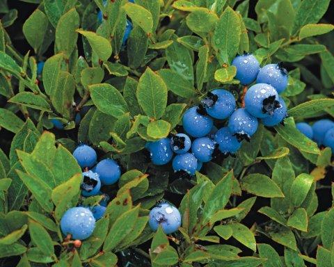 ellison-cu0430-blueberries-embed1
