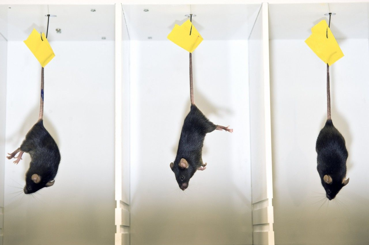 animal testing 18 This article makes the claim that society needs to be reassessing animal testing in order to make sure that all animals are treated in the most humane way possible.