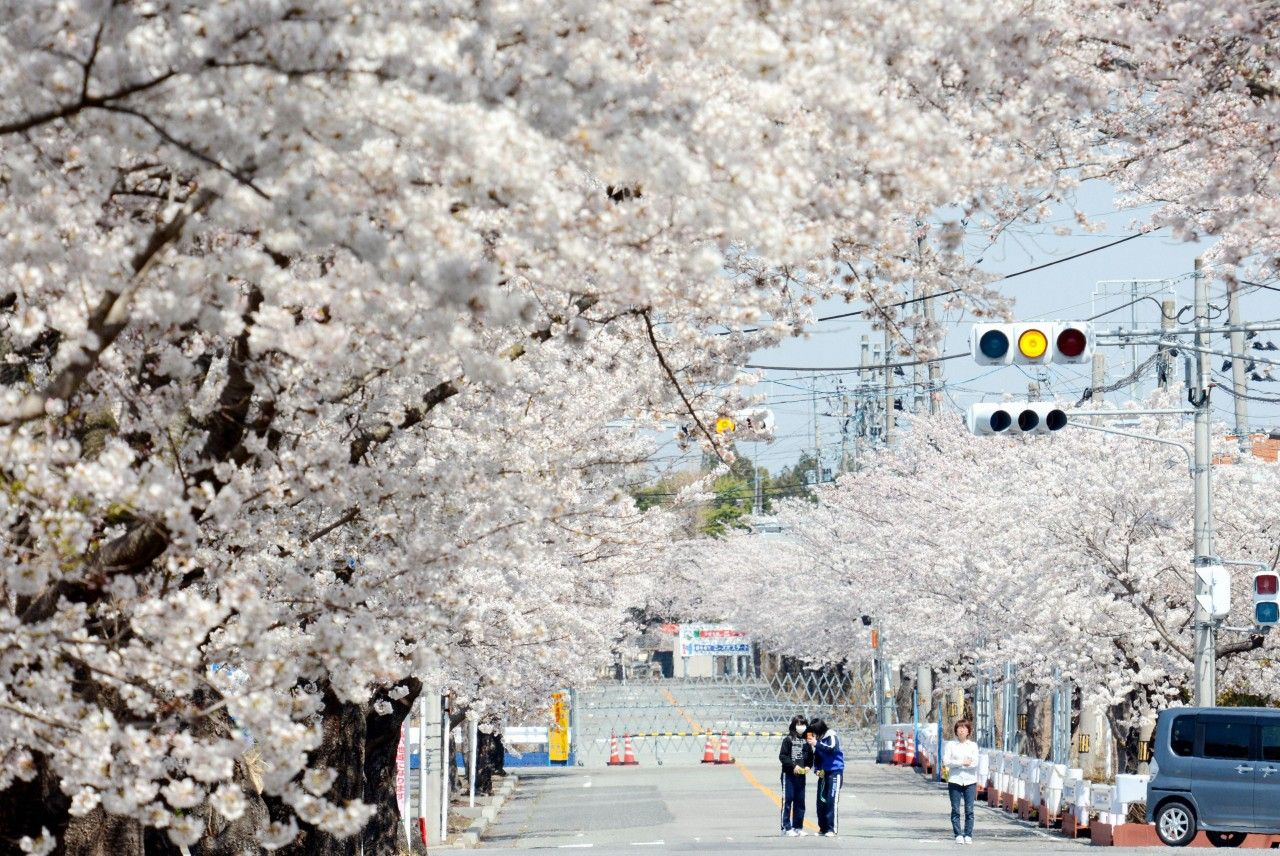 Cherry Blossoms Arrive With Spring in Japan