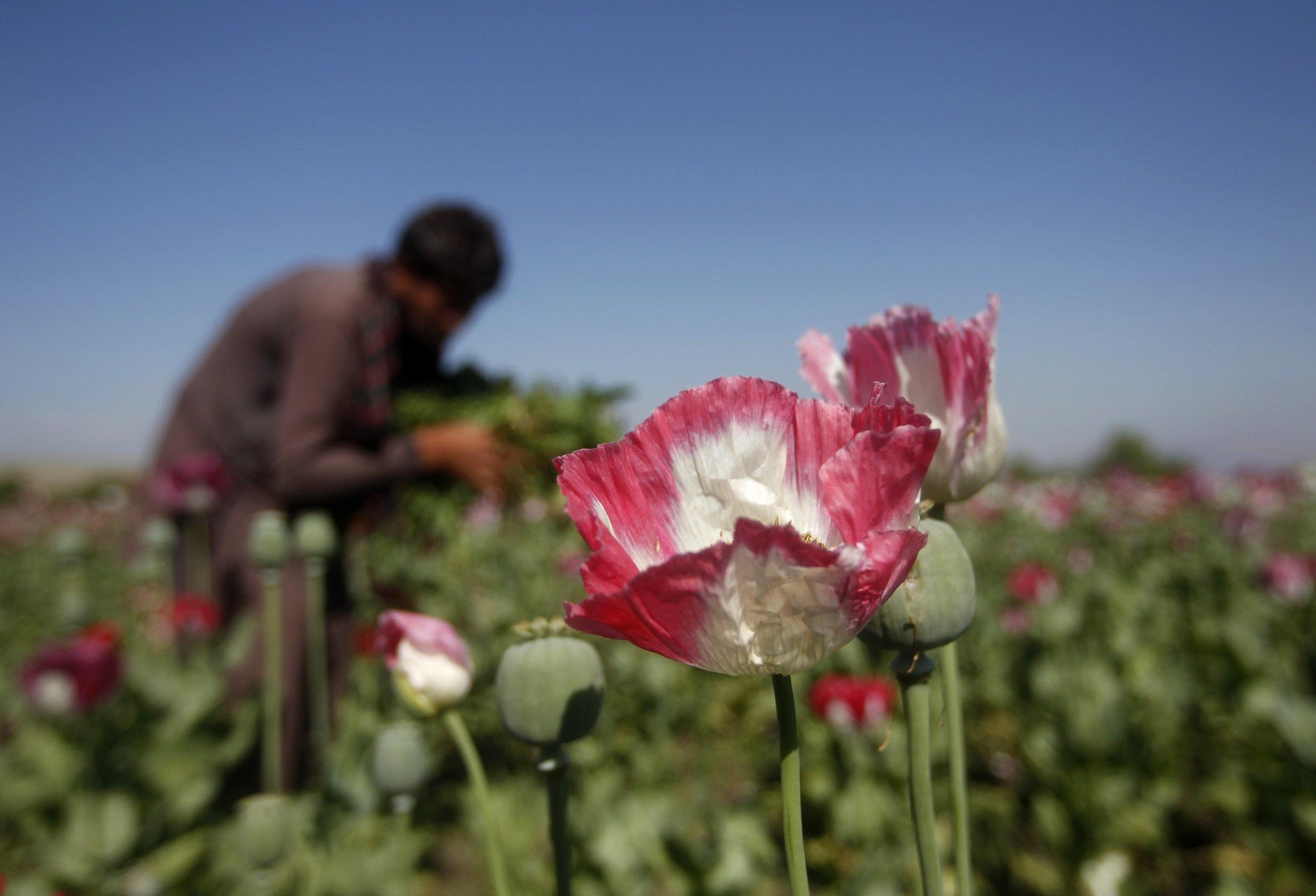 poppy opium