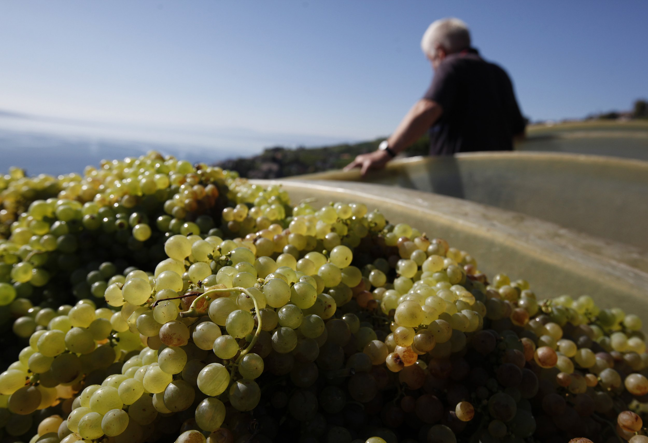 Grapes being harvested