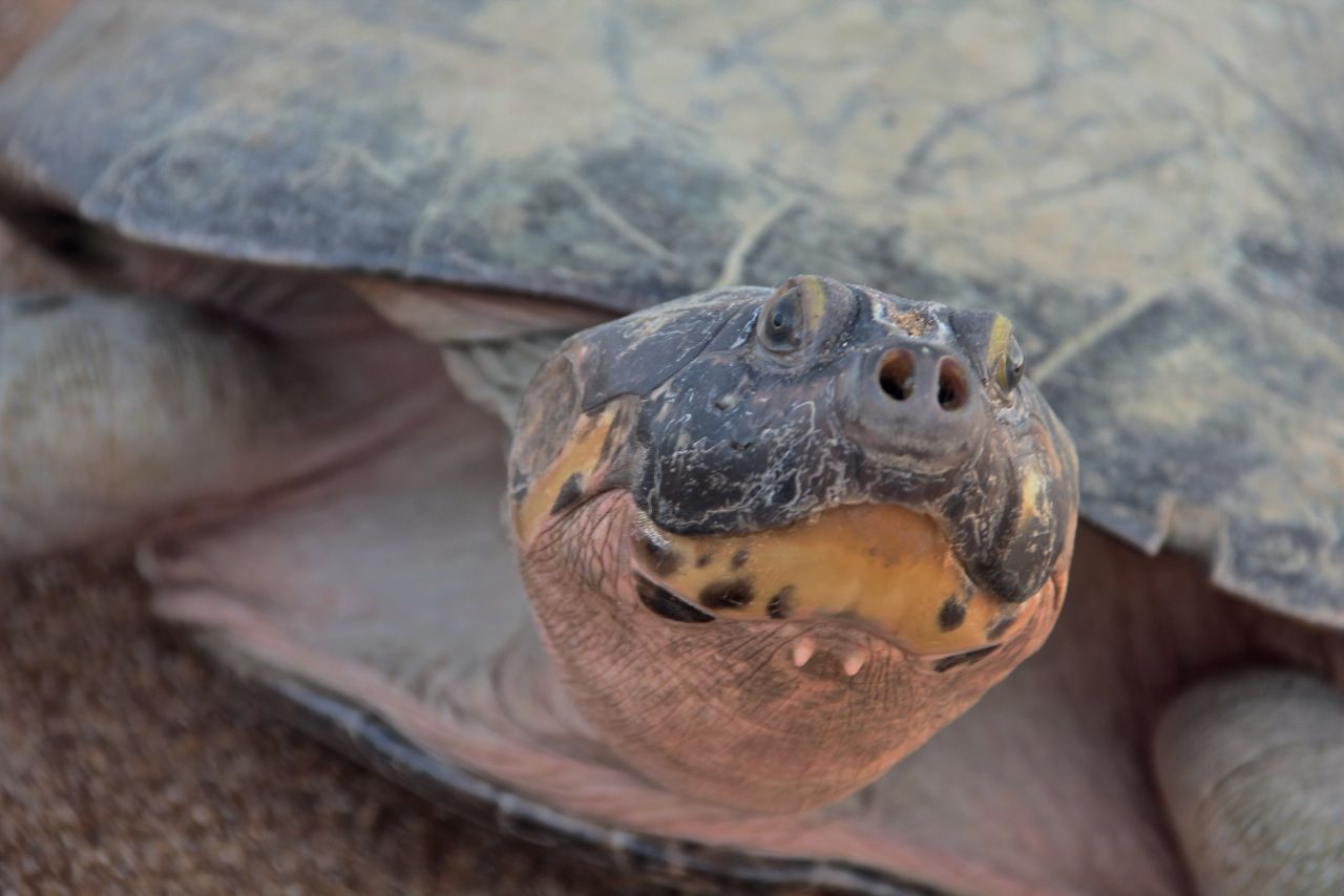 Turtles Talk To Each Other Parents Call Out To Offspring