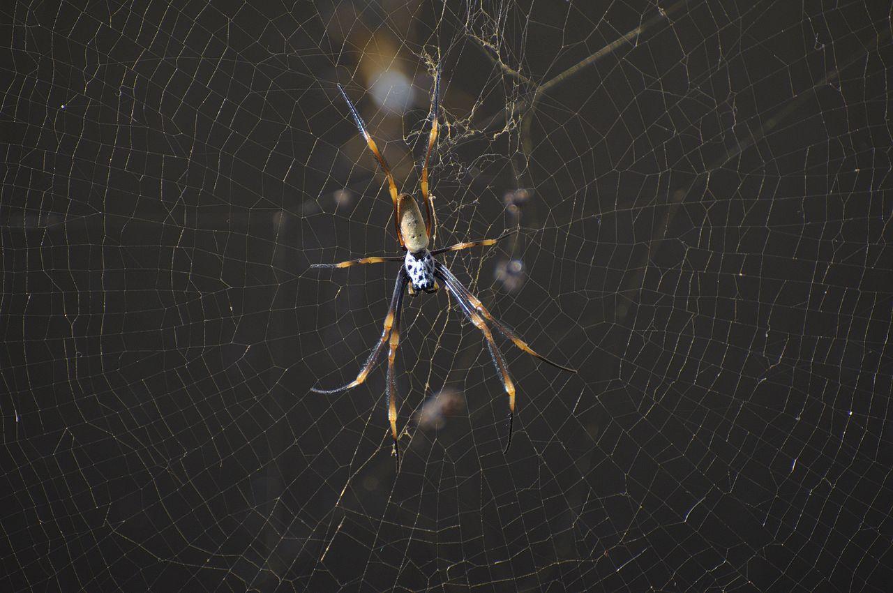 Golden_Orb_spider_Brisbane