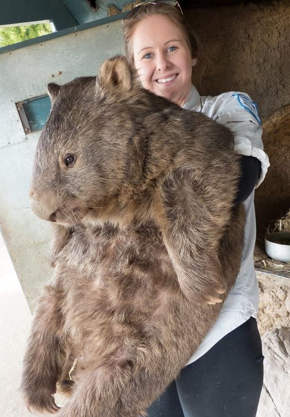 the world s oldest and possibly largest wombat turns 29. Black Bedroom Furniture Sets. Home Design Ideas