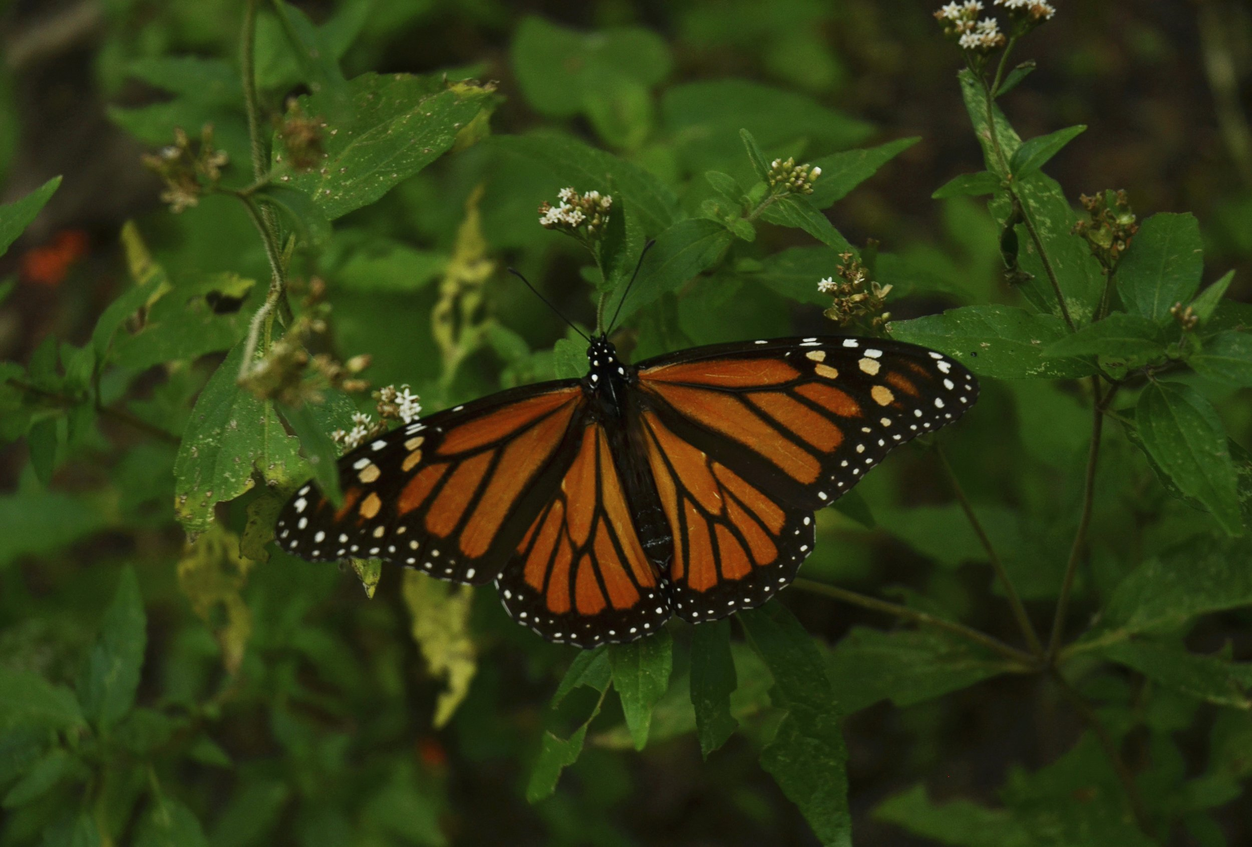 monarch-butterfly-on-bush
