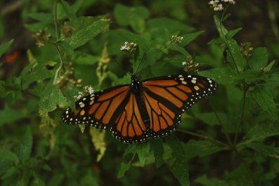 monarch-butterfly-on-bush
