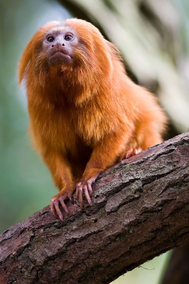 Golden_lion_tamarin