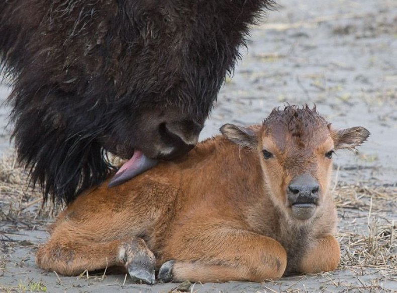 wood-bison-mother-AWCC-1253