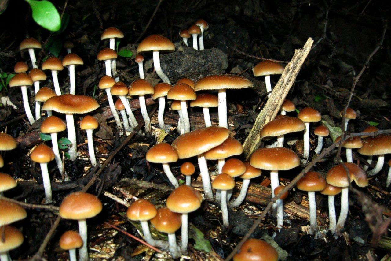 Psilocybe_cyanofriscosa_62599
