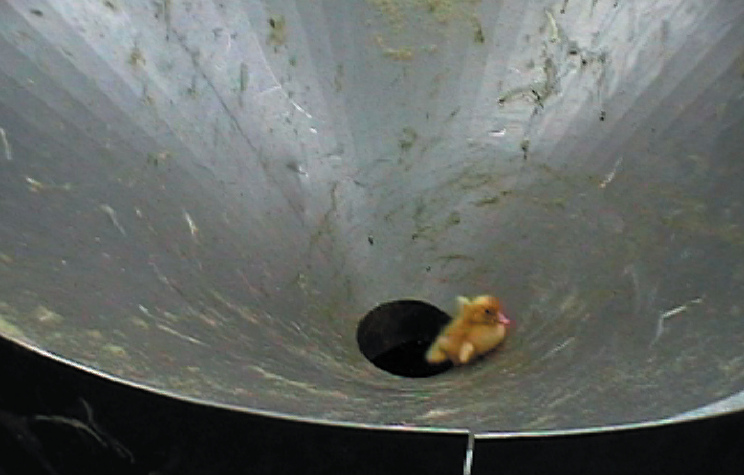 Watch Shocking Video Of Live Ducklings Being Thrown Into