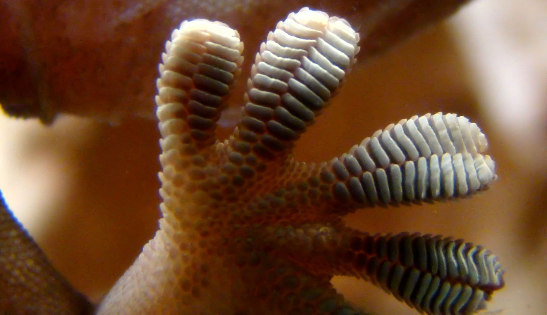 Gecko foot