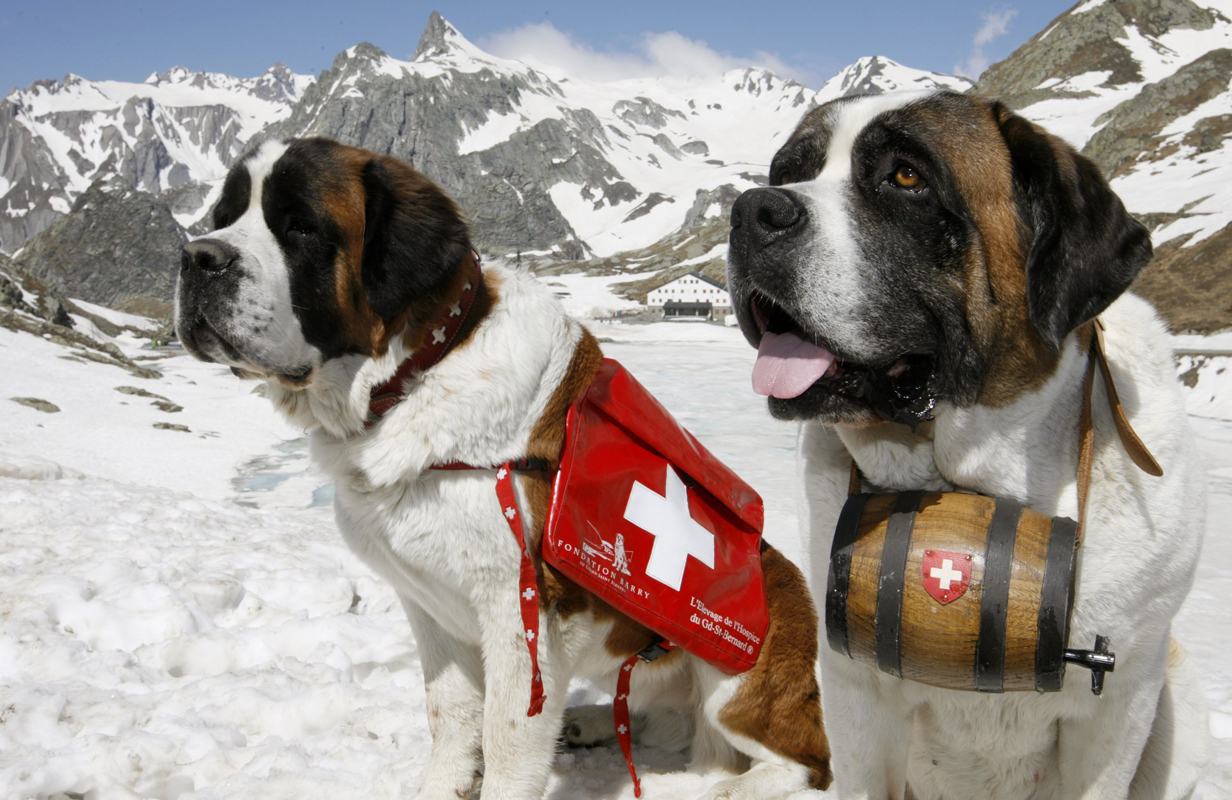 Swiss Eating Dogs And Cats