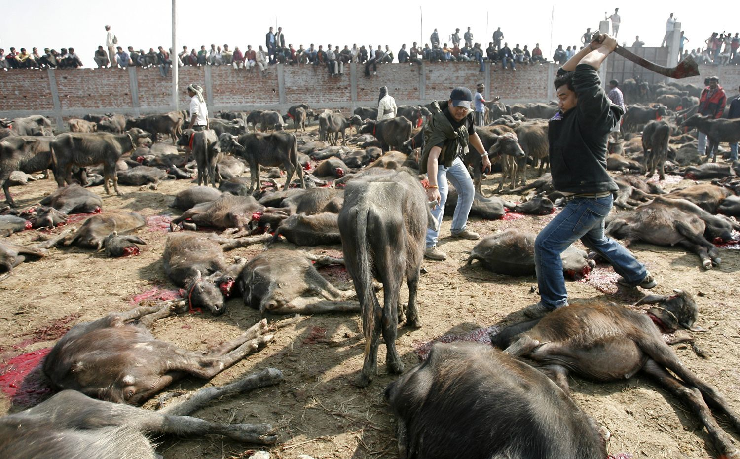 in pictures nepalese festival where half a million animals will be sacrificed. Black Bedroom Furniture Sets. Home Design Ideas