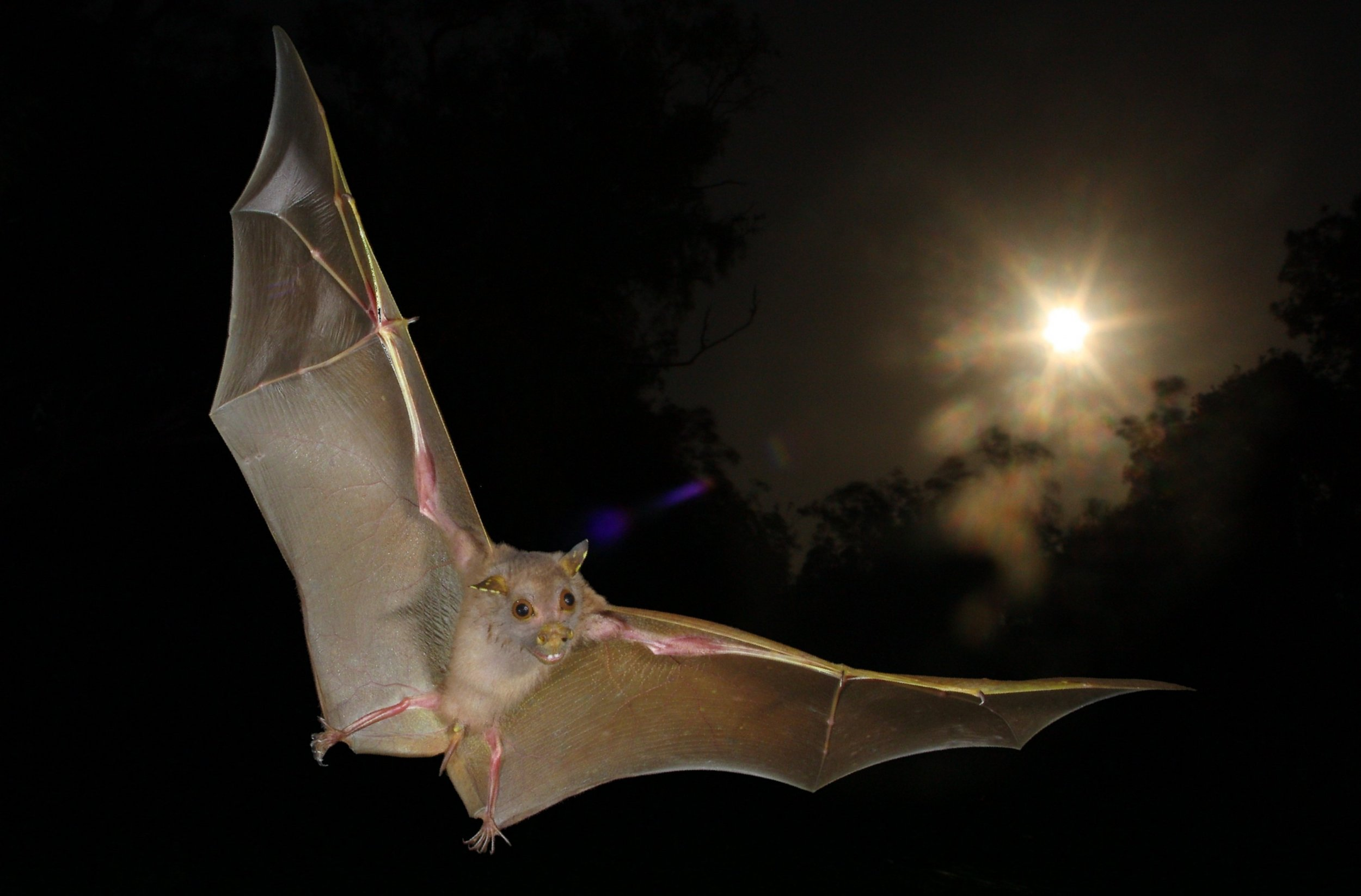 Bat Bus 12 >> Some Bats Use Their Wings to Navigate in the Dark