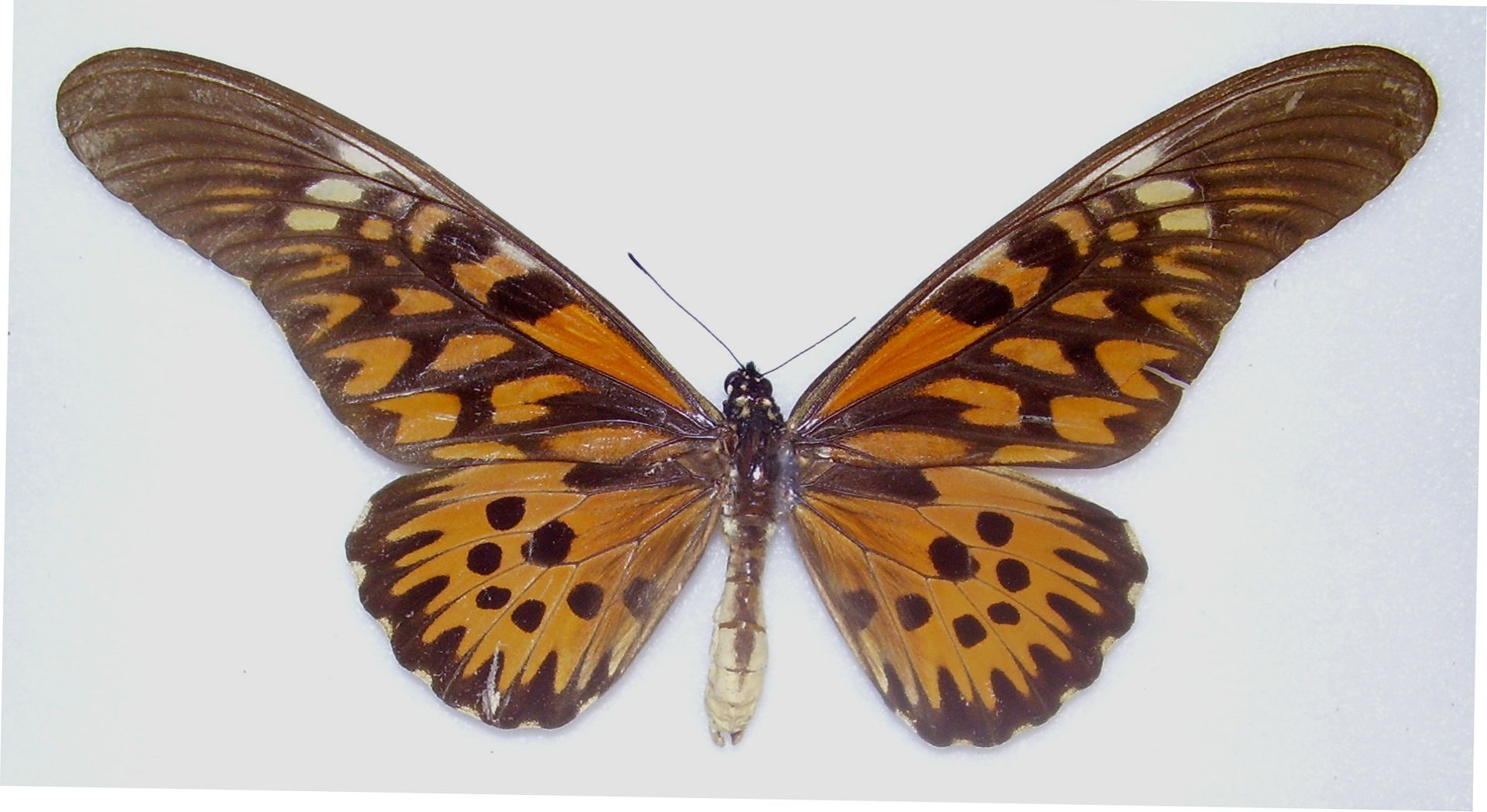 Papilio-Antimachus-giant-african-swallowtail