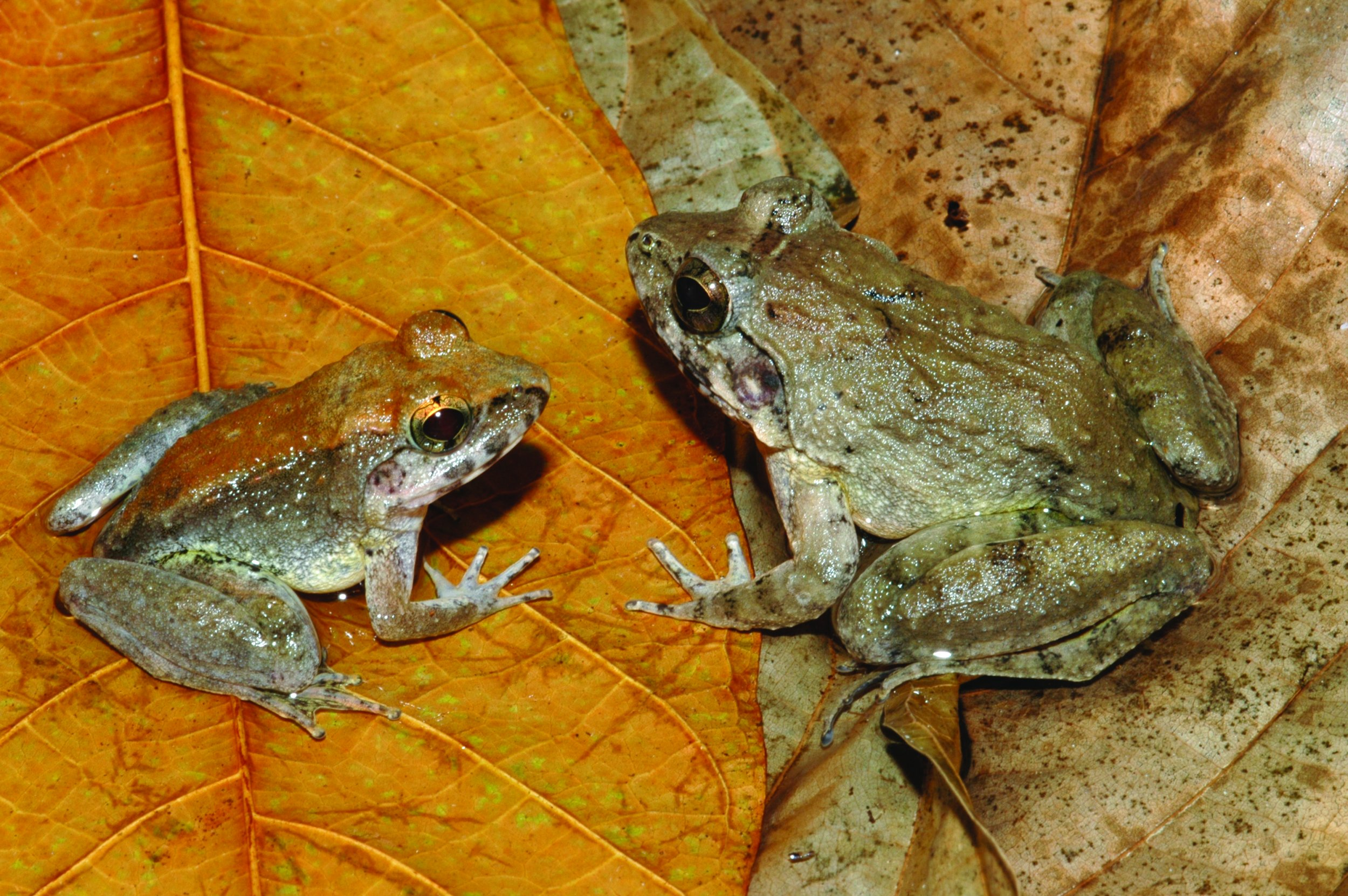 sulawesi-frog-species