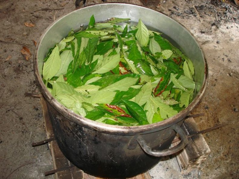 ayahuasca_leaves_in_the_pot_684