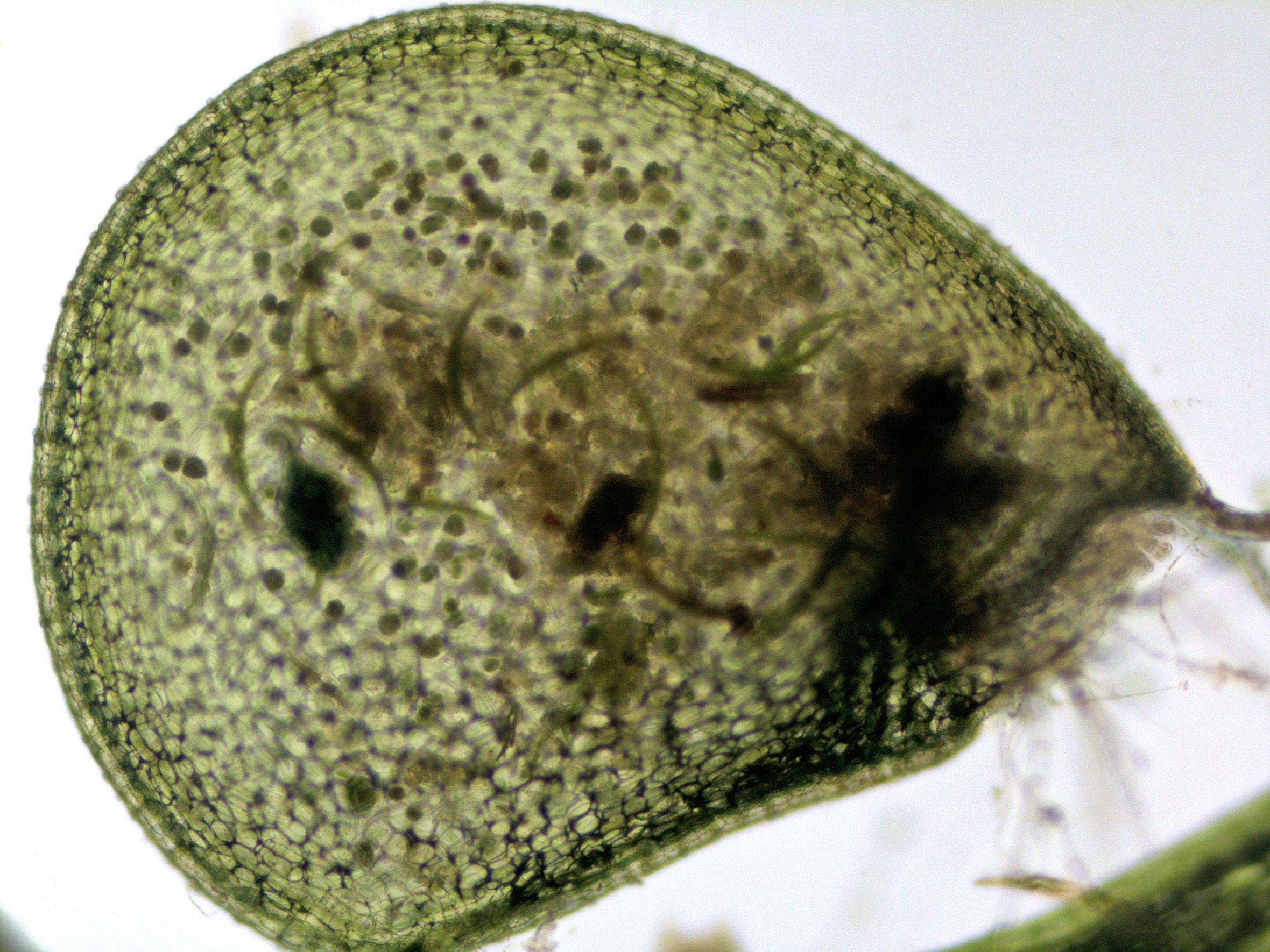 bladderwort-trap