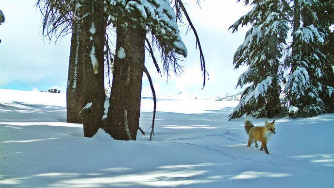 yosemite-sierra-red-fox