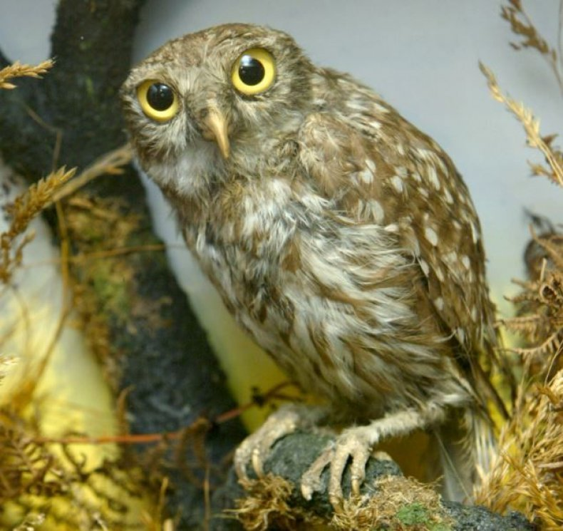 athena-little-owl