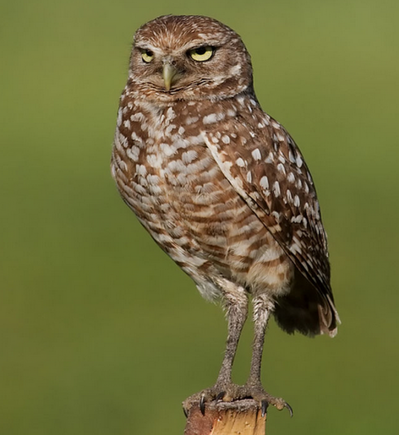 burrowing-owl-florida-standing